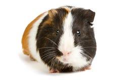 Грызун любимчика морской свинки маленький стоковая фотография rf