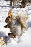 грызя nuts белка Стоковые Изображения