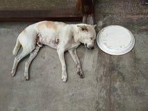 Грязная белая мужская собака спать, положила голову на старую деревянную стойку стоковые изображения