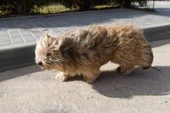 Грязная собака выглядит жалкой Белая собака ищет владельцы Случайное животное на улице стоковые фотографии rf