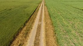 Грязная улица между 2 полями Поле и пшеничное поле гороха Взгляд сверху пшеничного поля Летать над пшеничным полем сток-видео