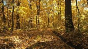 Грязная улица покрытая с желтой листвой в съемке леса осени средней покрытый осенью упаденный ландшафт пущи земной выходит желтый сток-видео