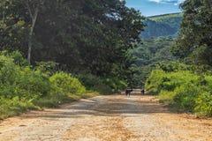 Грязная улица с козами, сельский район Африки malange, Ангола стоковые фото