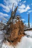 Грязные корни дерева, который подвергли действию от упаденного дерева на солнечный и снежный зимний день в зоне живой природы луг стоковая фотография rf