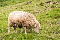 Грязные овцы пася на травянистом горном склоне стоковая фотография rf