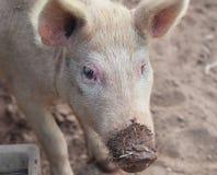 Грязь влюбленности свиней Стоковые Изображения