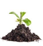 Грязь кучи с ростком зеленого растения стоковые изображения rf