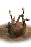 грязь лошади wallowing Стоковое Изображение RF