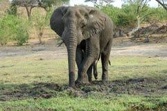 грязь слона быка выкапывая Стоковая Фотография