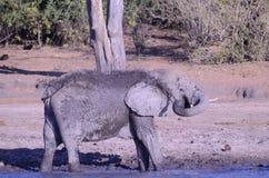 Грязь слона бросая на себе Стоковые Изображения RF