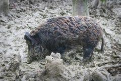 грязь хряка одичалая Стоковые Фотографии RF