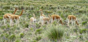 Гуанако в естественной области Стоковые Фото