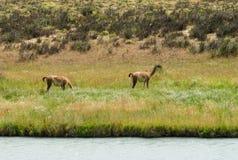 Гуанако в естественной области Стоковое Фото