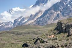 Гуанако в чилийской Патагонии Стоковое Изображение RF