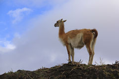 Гуанако наблюдая горизонт Стоковые Изображения