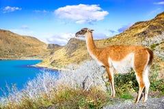 Гуанако, Torres del Paine, Чили Стоковое Изображение