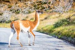 Гуанако, Torres del Paine, Чили Стоковые Изображения
