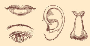 Губы, глаза, уши, нос вычерченные женщины иллюстрации s руки стороны Винтажная ретро гравировка Стоковая Фотография