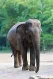 гулять азиатского слона изолированный женщиной Стоковая Фотография