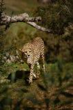 гулять гепарда стоковое изображение rf