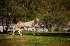 гулять гепарда стоковая фотография