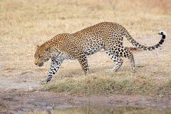 гулять леопарда Стоковые Изображения RF