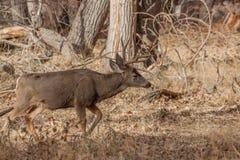гулять осляка оленей самеца оленя Стоковые Изображения RF