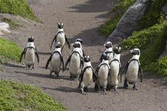 Гулять пингвинов Стоковые Изображения RF