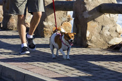 гулять поводка собаки стоковые фотографии rf