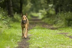 гулять пущи собаки стоковые изображения rf