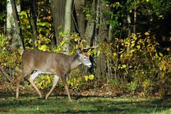 гулять самеца оленя Стоковая Фотография RF