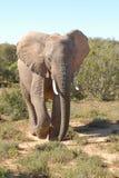 гулять слона Стоковое Изображение RF