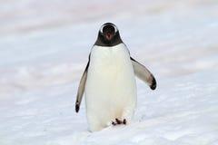 гулять снежка пингвина gentoo Антарктики Стоковые Фото