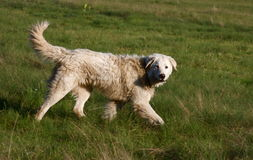 гулять собаки Стоковое Изображение