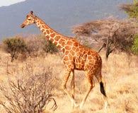 гулять giraffe Стоковые Фото