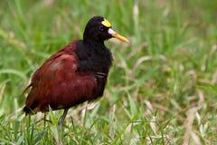 гулять jacana травы птицы северный Стоковые Изображения