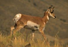 гулять pronghorn лани Стоковые Изображения
