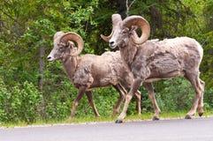Гулять sheeps Bighorn Стоковое Изображение
