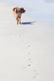 Гуляя собака на пляже Стоковые Изображения RF
