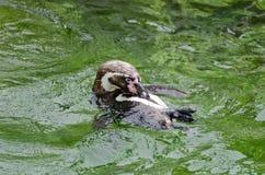 Гумбольдта пингвина заплывания задняя часть дальше Стоковые Изображения