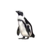Гумбольдт, вид Magellanic пингвина Стоковые Фото