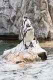 2 Гумбольдт или перуанские пингвины Стоковые Изображения