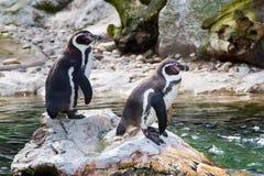 2 Гумбольдт или перуанские пингвины Стоковое фото RF