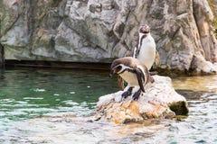 2 Гумбольдт или перуанские пингвины Стоковые Фотографии RF
