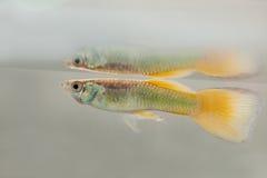 Гуппи рыб аквариума заплывания стоковая фотография rf