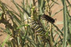 Гусеница бабочки монарх стоковое изображение