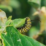 Гусеница бабочки монарх стоковое фото rf