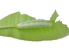 Гусеница бабочки на лист Стоковые Фотографии RF