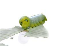 Гусеница бабочки на лист Стоковое Изображение RF