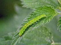 гусеница бабочки Стоковые Фотографии RF